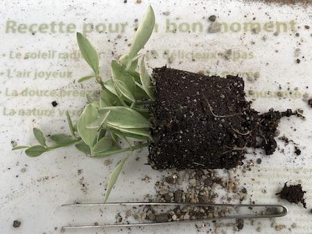植え替えのために鉢から取り出したディスキディアの写真