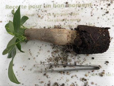 植え替えのためにパキラを鉢から取り出した写真