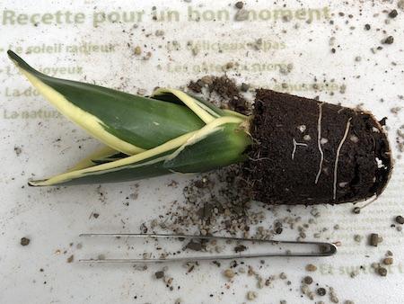 植え替えのために鉢から取り出したサンスベリアの写真