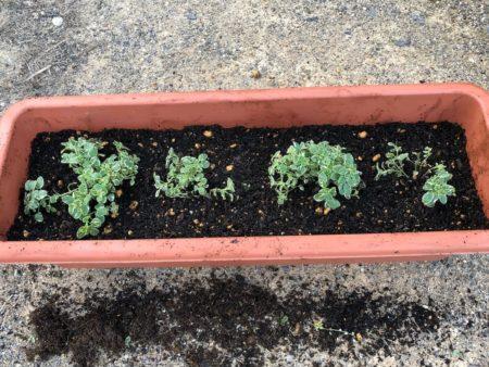 斑入りのオレガノ『カントリークリーム』の植えつけ写真5
