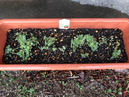 斑入りのオレガノ『カントリークリーム』の植えつけ写真6
