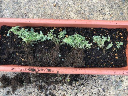 斑入りのオレガノ『カントリークリーム』の植えつけ写真4