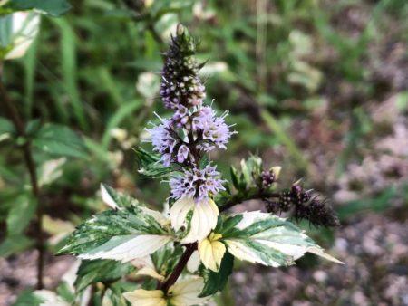 斑入りペパーミントの花写真