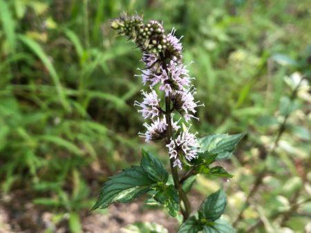 斑入りペパーミントの花写真2