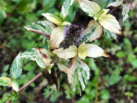 夏の斑入りペパーミント写真2