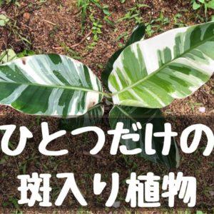 一つだけの斑入り植物写真