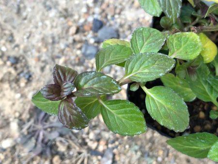 ペパーミント バリエガータの枝カット写真3