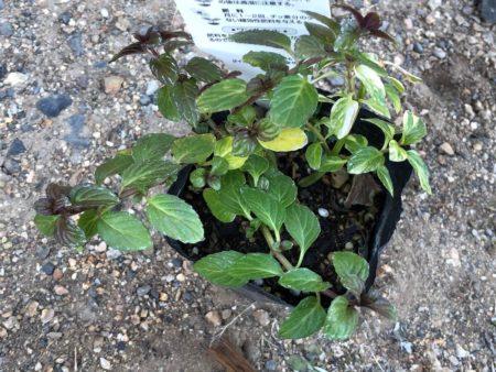 ペパーミント バリエガータの枝カット写真2