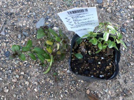 ペパーミント バリエガータの枝カット写真