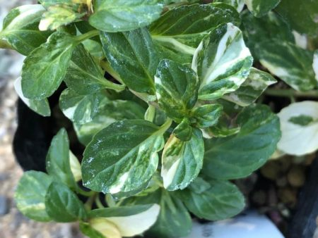 ペパーミント バリエガータの苗拡大写真2