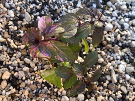 ペパーミント バリエガータを外の大鉢に植え付けた写真3