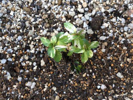 ペパーミント バリエガータを外の大鉢に植え付けた写真