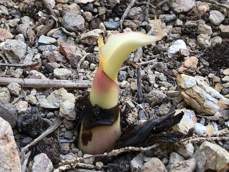 白化アエアエの発芽写真