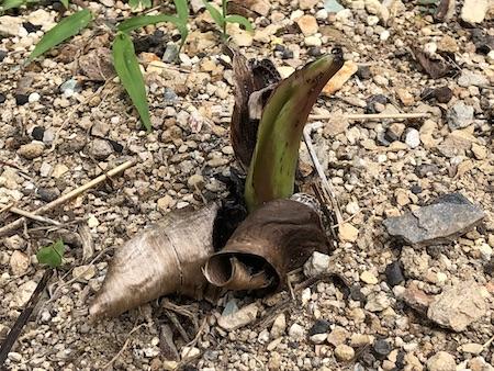 アエアエの芽が伸びてきた写真