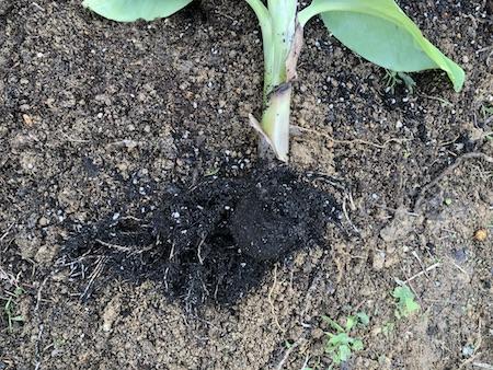 金葉ナムワの根写真