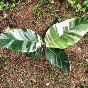 斑入りバナナの『ムサ アエアエ』を日本で栽培。寒さには弱い品種でした。