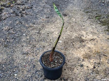 ムサ アエアエの苗を鉢植えにした写真
