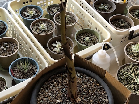 少し茎が寒さで腐り始めたムサ アエアエの写真